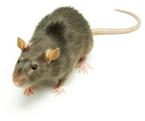 Ratas de alcantarillas serviplagas - Como eliminar ratones en el hogar ...